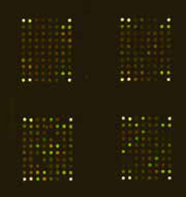 Typical scan of a scioCyto microarray